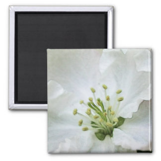 White Apple Blossom Close-Up 2 Inch Square Magnet