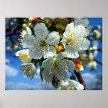 White apple blossom poster