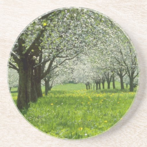 white Apple trees in the spring flowers Coaster