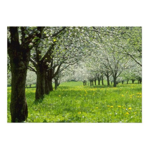 white Apple trees in the spring flowers Announcements