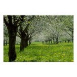 white Apple trees in the spring flowers Poster