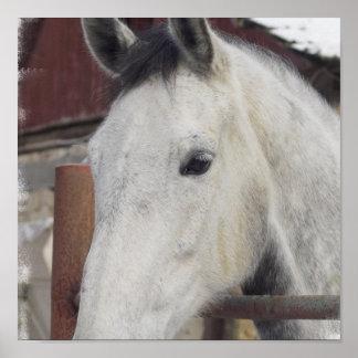White Arabian Horse Poster Print