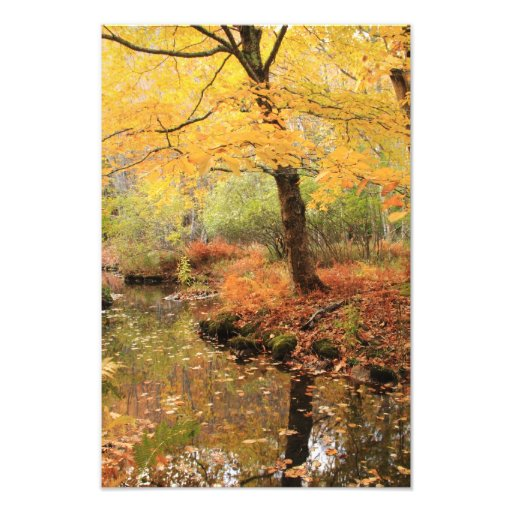 White Ash over a forest stream in Autumn Photo Print