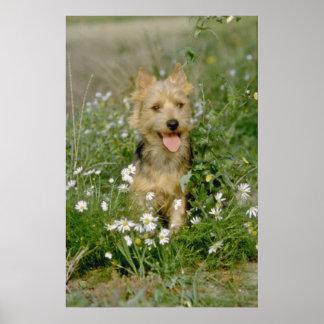 white Australian terrier flowers Poster