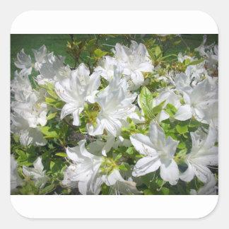 White Azaleas are blooming Sticker