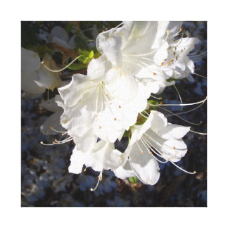 White Azaleas in the Southern Sun Wrapped Canvas