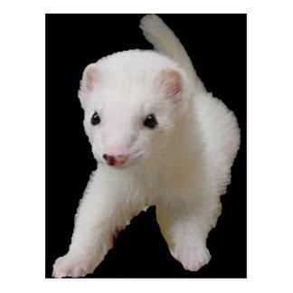 White Baby Ferret Postcard