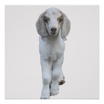 White Baby Goat Poster