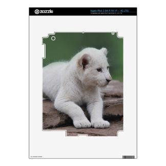 White baby lion cub series iPad 3 skin