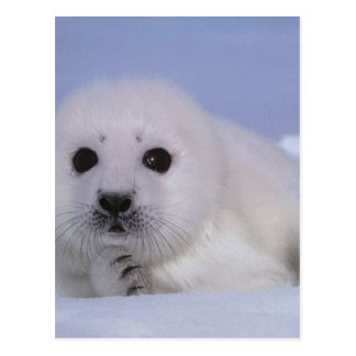white baby seal postcard