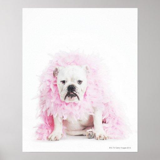 white background, white bulldog, pink feather poster