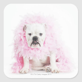 white background, white bulldog, pink feather square sticker