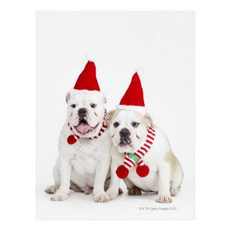 white background, white bulldogs, male dog, postcard