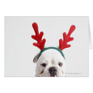 white background, white male bulldog, red card