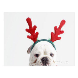 white background, white male bulldog, red postcard