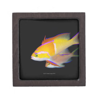 White Bar Anthias Jewelry Box