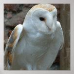 White Barn Owl Poster