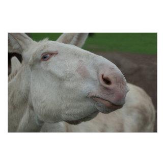 White Baroque Donkey Poster