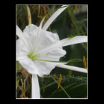 White Beach Spider Lily Lilies Flower Photo Postcard