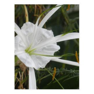 White Beach Spider Lily Lilies Flower Photo Postcard