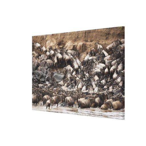 White-bearded Wildebeest or Gnu, Connochaetes Canvas Print