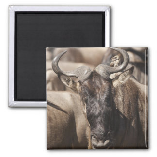 White-bearded Wildebeest with Wattled Starling 2 Inch Square Magnet