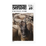 White-bearded Wildebeest with Wattled Starling Postage Stamps