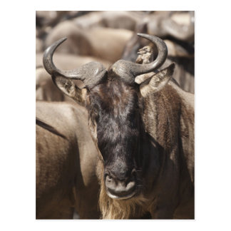 White-bearded Wildebeest with Wattled Starling Postcard