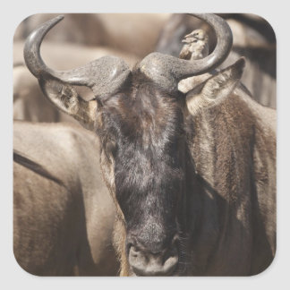 White-bearded Wildebeest with Wattled Starling Square Sticker