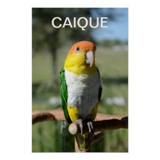 White Bellied Caique Parrot Posters