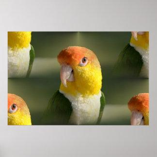 White Bellied Caique Parrot Print