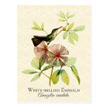 White Bellied Emerald Hummingbird Art Postcard