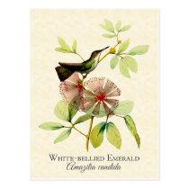White Bellied Emerald Hummingbird Vintage Art Postcard