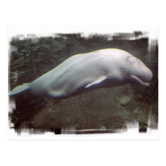 White Beluga Whale  Postcard