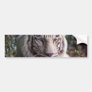 White Bengal Tiger Bumper Sticker