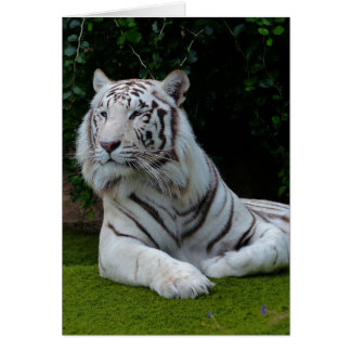 White Bengal Tiger Card