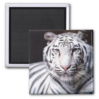 White Bengal Tiger Magnet