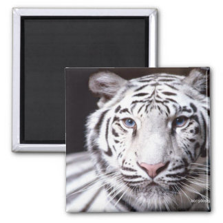 White Bengal Tiger Photography 2 Inch Square Magnet