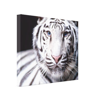 White Bengal Tiger Photography Stretched Canvas Print