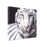 White Bengal Tiger Photography Canvas Print