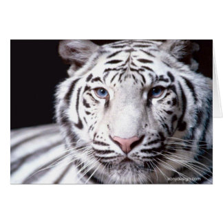 White Bengal Tiger Photography Greeting Cards