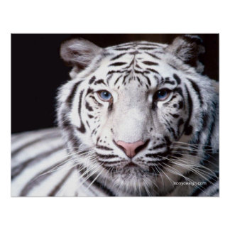 White Bengal Tiger Photography Poster