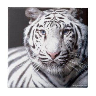 White Bengal Tiger Photography Tile