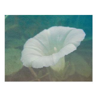 White Bindweed - The Wild Perennial Morning Glory Postcard