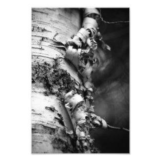 White Birch Print 11X14 Photograph