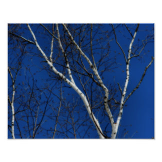 White Birch Tree Blue Sky Nature Poster