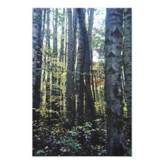 White birch trees photo