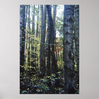 White birch trees print