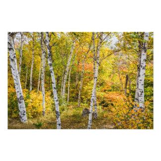 White Birches in Autumn Art Photo