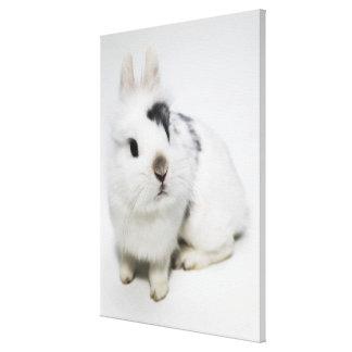 White, black and brown rabbit canvas print